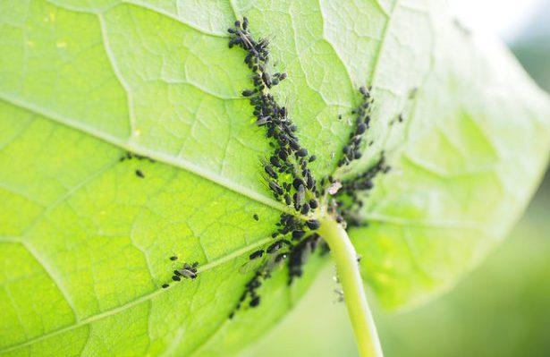 Come eliminare i pidocchi dalle piante 1