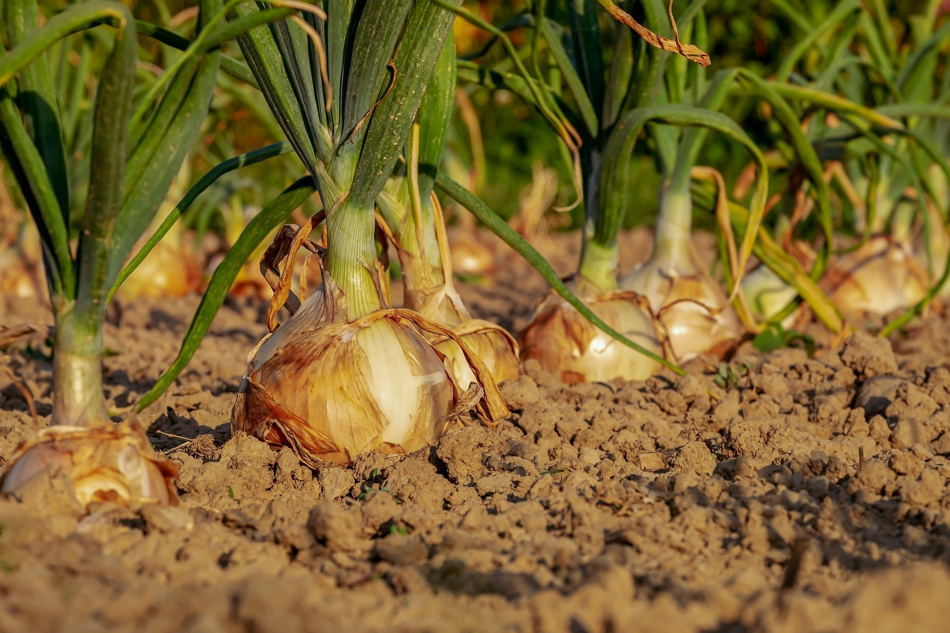 Come disporre gli ortaggi nell'orto