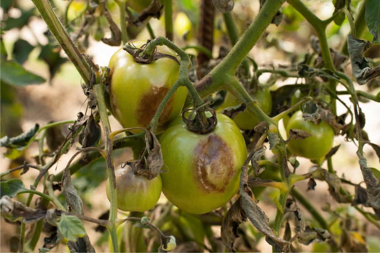Quali sono le malattie dei pomodori più comuni