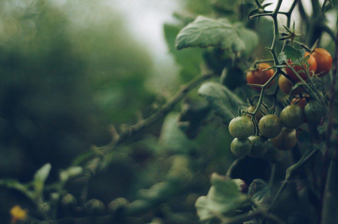 Cosa piantare vicino ai pomodori?