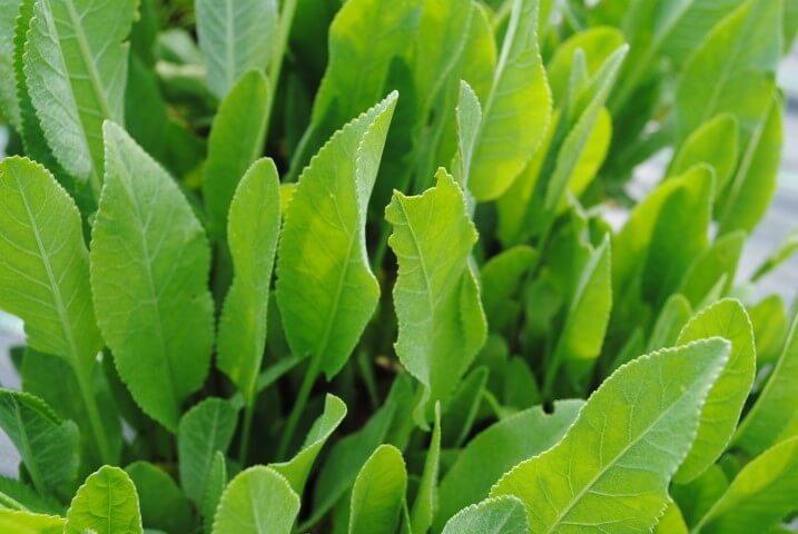 I segreti dell'erba di San Pietro, l'aromatica sconosciuta 1