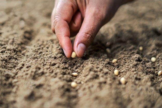 Coltivare Soia nell Orto