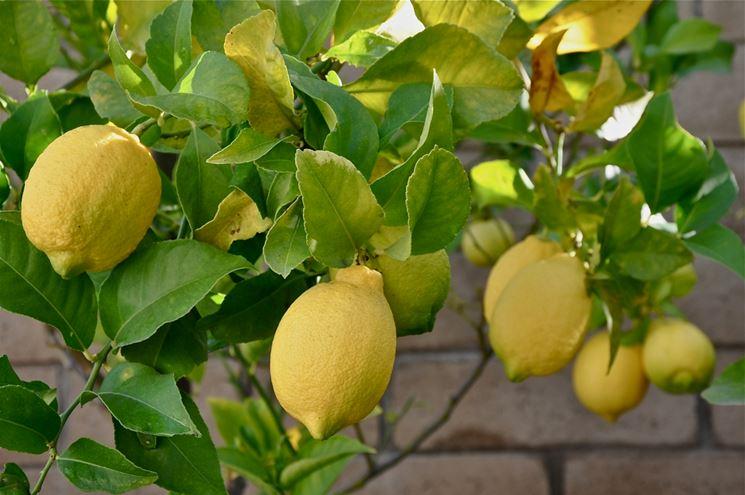Concimare Limoni nell Orto