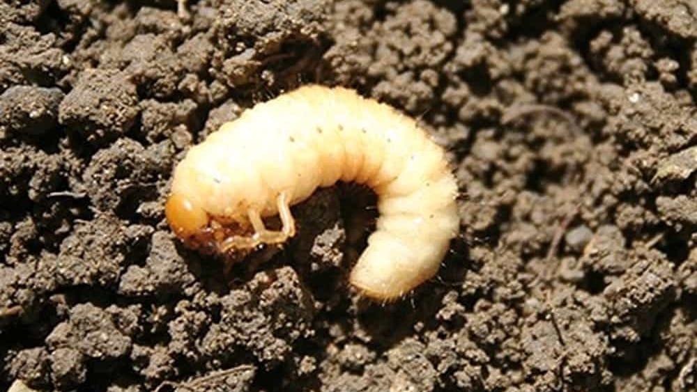 larve bianche nella terra