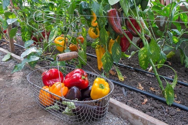 I peperoni si coltivano in pieno campo? Come?