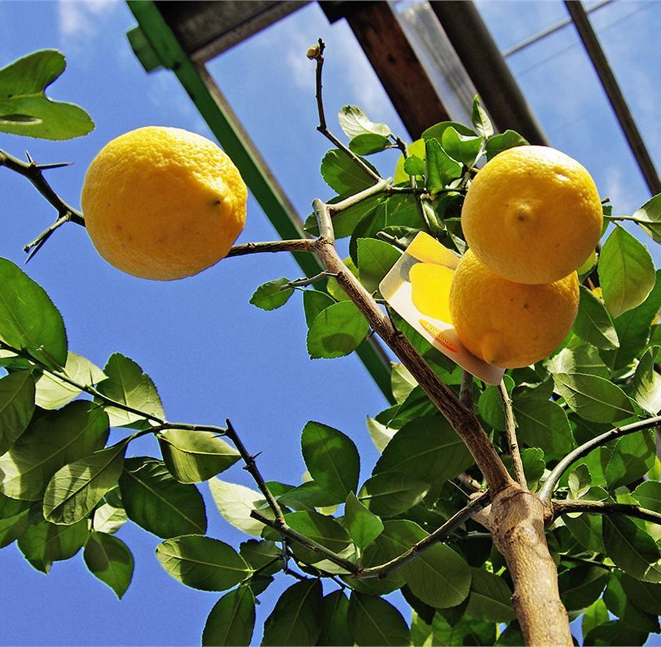 Come si coltivano le piante da frutto nane? 1
