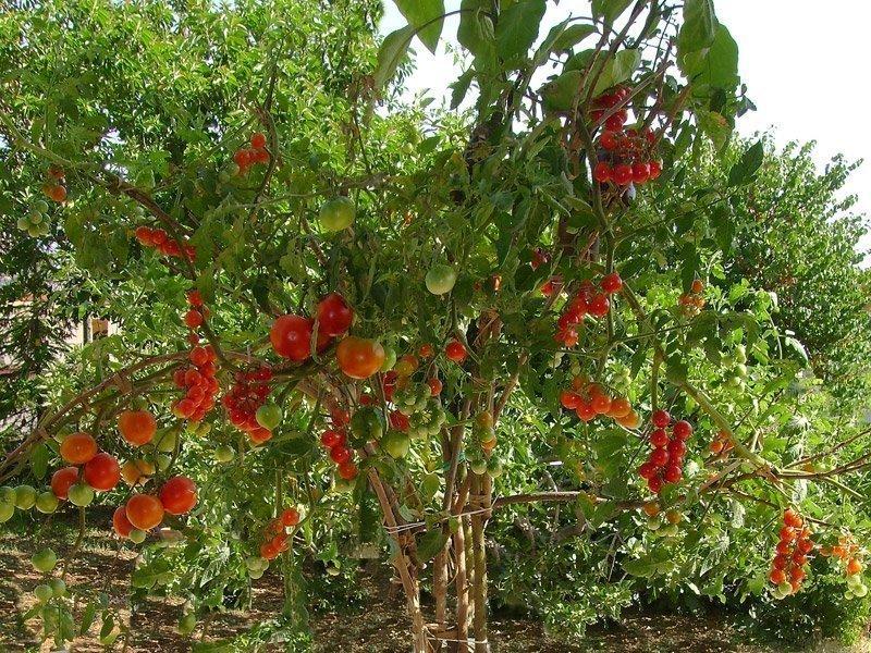 Posso innestare i pomodori su un albero