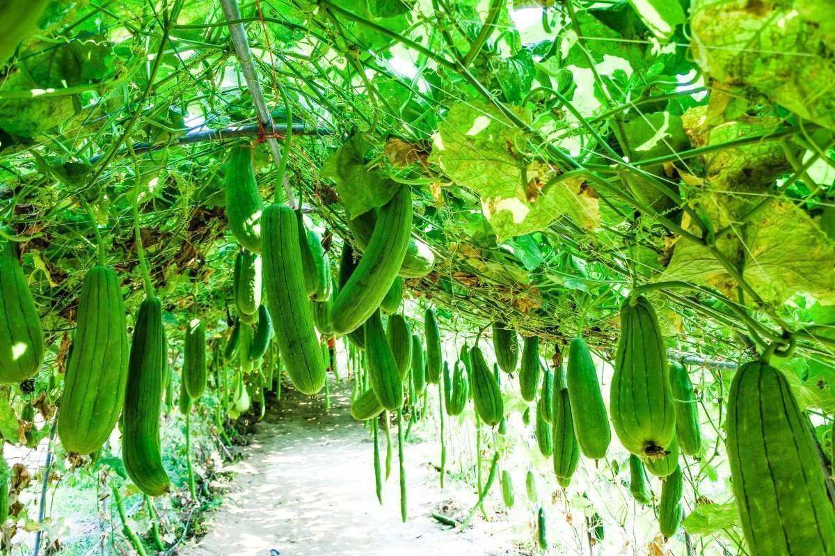 Zucchine Rampicanti