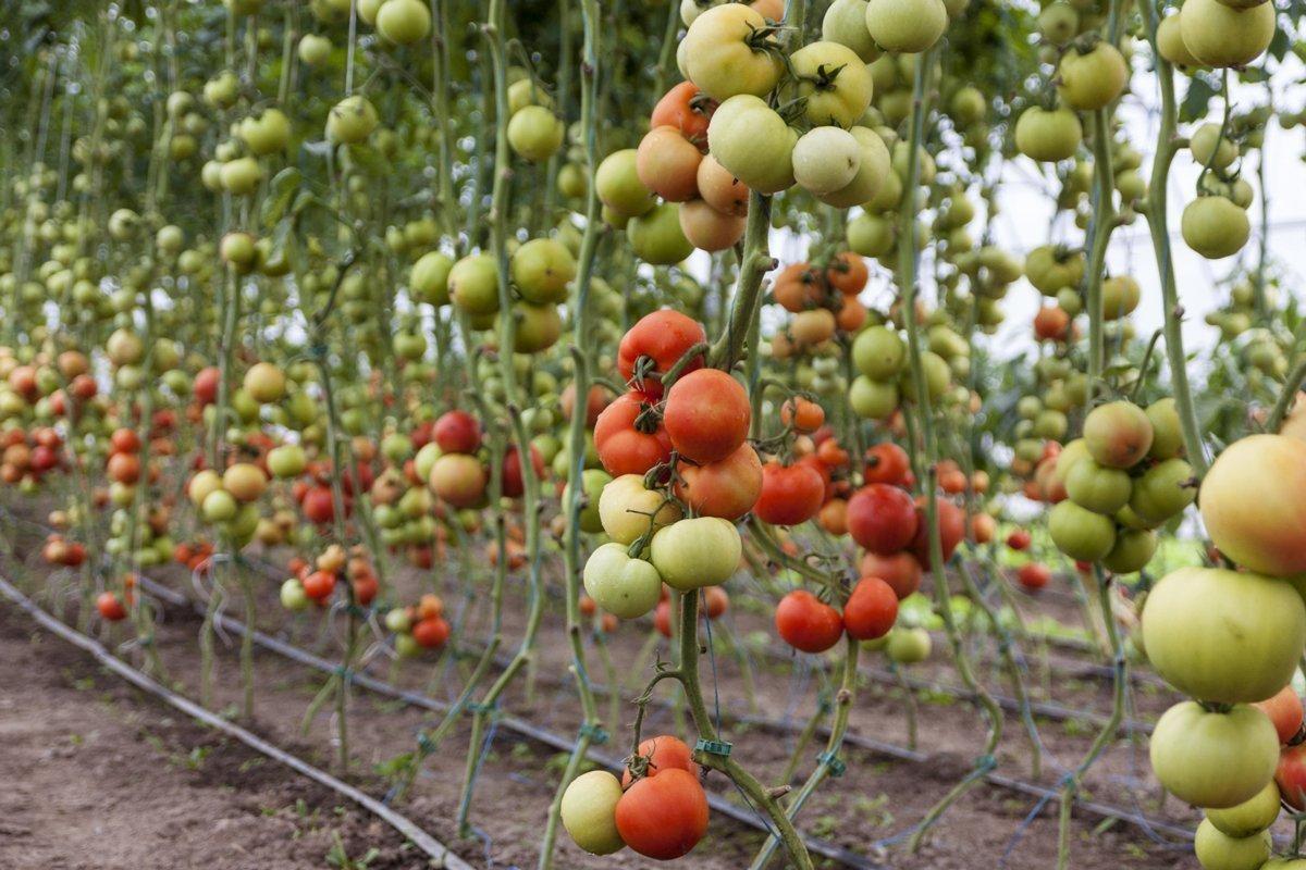 Consigli per i tutori per pomodori fai da te
