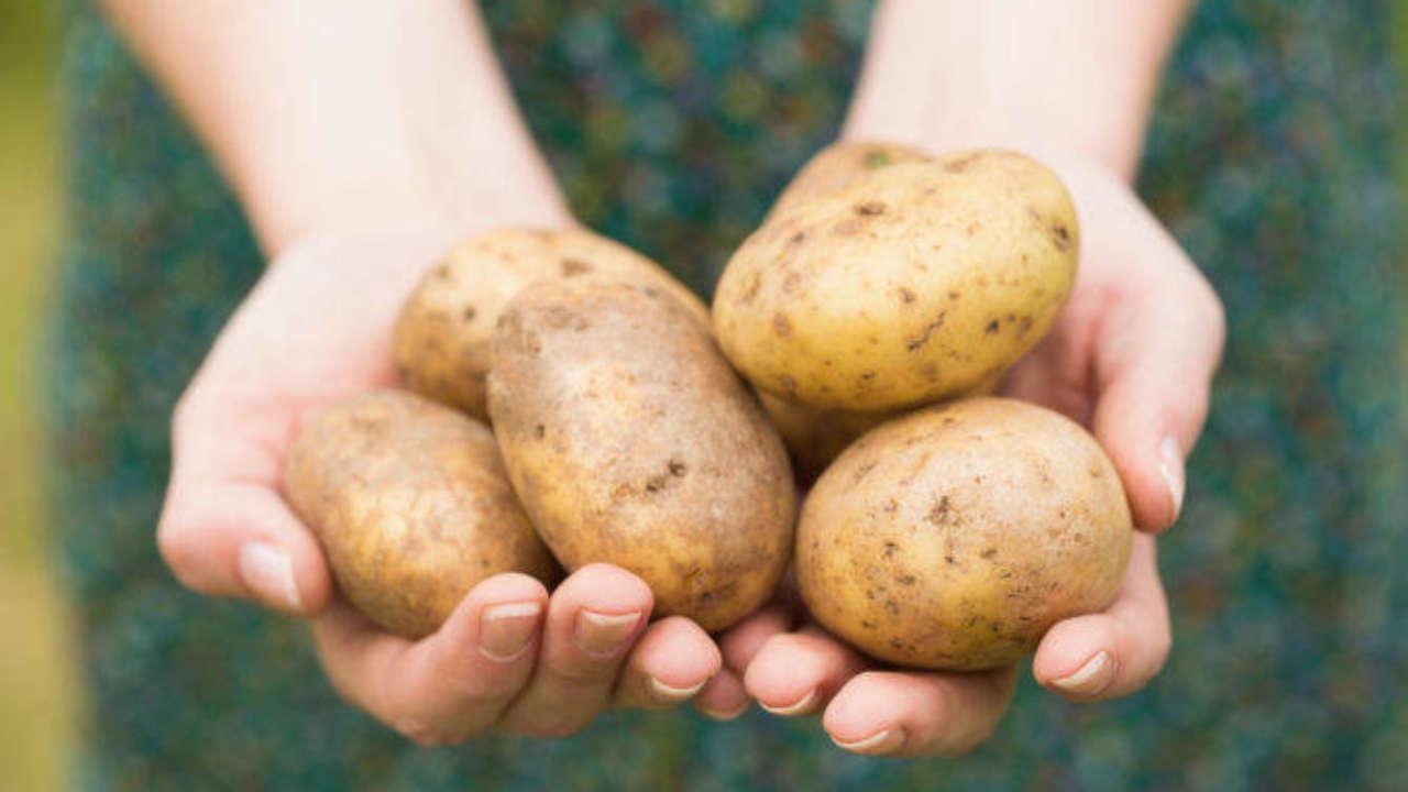 Coltivare le patate è abbastanza facile, tant'è che ci sono pochi neofiti dell'orto che non si buttano nell'impresa. Scegliere quali varietà di patate coltivare è invece molto più difficile. Dovresti far moltiplicare quelle che trovi al supermercato? Far arrivare strane varietà dall'altra parte del mondo? Dipende da quello che stai cercando e non esiste una sola risposta. Per darti una mano, ecco qui un piccolo elenco delle patate più buone da coltivare. Secondo noi, ovviamente: si accettano suggerimenti. Patata Turchesa Diciamo la verità: non sappiamo se la patata Turchesa sia una delle più buone. Di sicuro, è una delle più strane da coltivare nell'orto. La buccia di questa patata è infatti di un bel viola carico, l'ultimo colore che ti aspetteresti da una patata. Anche la forma è molto più irregolare rispetto a quella delle varietà più diffuse, piena di bozzi e con una occhiatura profonda. Il brutto e il bello della patata Turchesa è che germoglia in pochissimo tempo. Brutto perché devi sempre pulirla dai germogli, prima di mangiarla. Bello perché si moltiplica con un'enorme facilità: basta interrare le parti germogliate di patata, per avere tante piantine dagli scarti. Un altro difetto è la difficoltà con cui la si sbuccia, a causa dei tanti bolli. Noi ti consigliamo di farla cuocere con tutta la buccia, proprio per facilitare l'operazione. Volendo, puoi non sbucciarla e basta: se sono patate del tuo orto, lavale bene e mangiale intere. La buccia è sottile e non dà fastidio; inoltre, è ricchissima di antiossidanti. Patata Rossa di Colfiorito Proseguendo sulla scia delle patate colorate, troviamo la Patata Rossa di Colfiorito. Questa varietà di patata ha una bella buccia color magenta, ruvida e sottile, e una polpa consistente color giallo chiaro. La forma è allungata e regolare, quasi sempre priva di macchie e bubboni. Diciamo che questa patata è molto più comoda da sbucciare rispetto alla Turchesa. Sempre che tu voglia sbucciarla. Per coltivarla nell'orto, puoi 