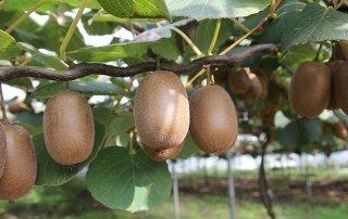 I segreti della coltivazione del kiwi a pergola