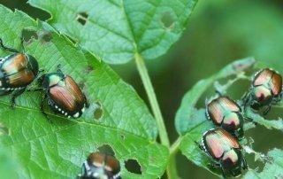 Rimedi naturali contro la popillia japonica