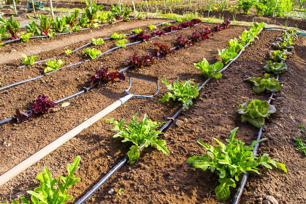 Come innaffiare l'orto con poca acqua