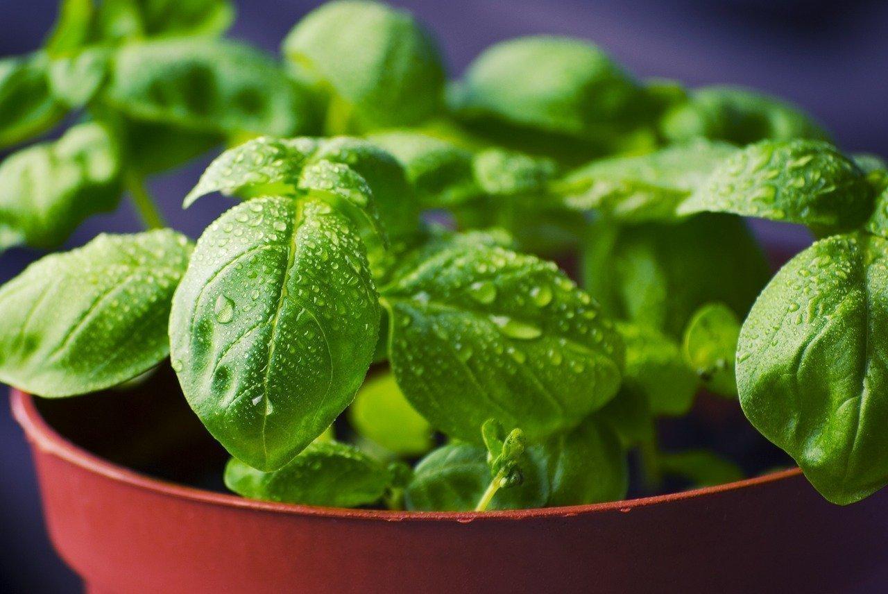 Come innaffiare il basilico per farlo crescere meglio