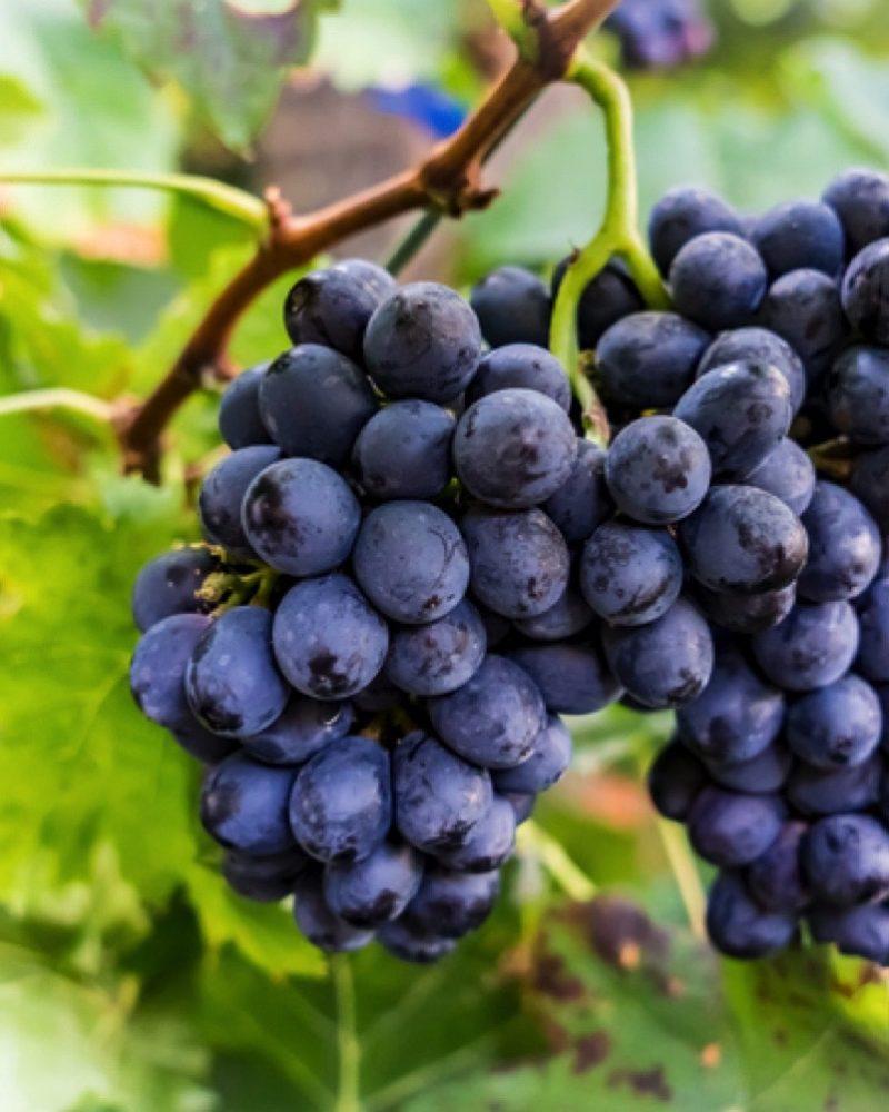 Come e quando si pianta l'uva fragola?