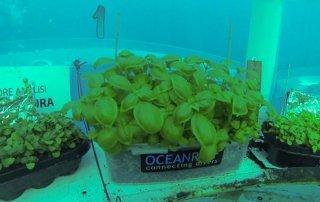 Si può coltivare il basilico in acqua? 6