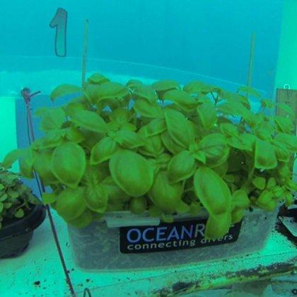 Si può coltivare il basilico in acqua? 2