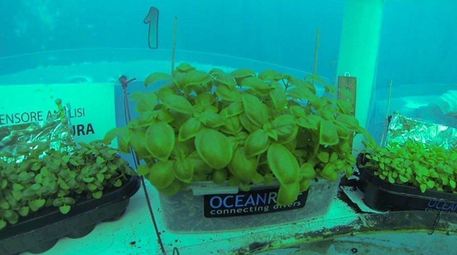 Si può coltivare il basilico in acqua? 1