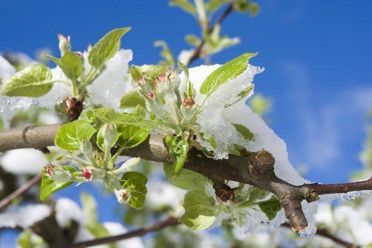Come proteggere le piante e la frutta dal gelo