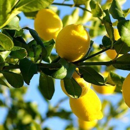 Il limone in inverno come prendertene cura