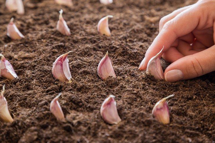 Coltivare l'aglio è facile! E coltivarlo bene?