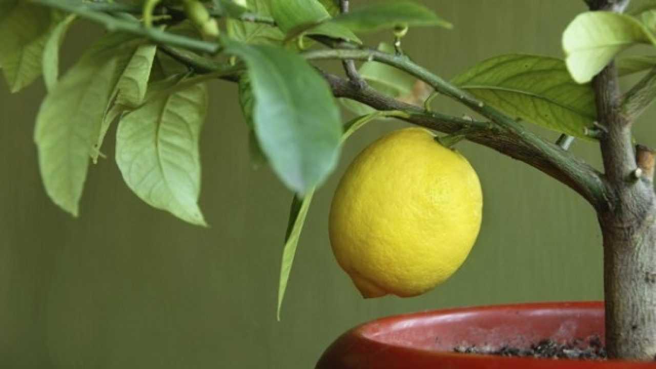 I segreti per la coltivazione in vaso del limone