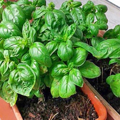 Come coltivare il basilico in casa?