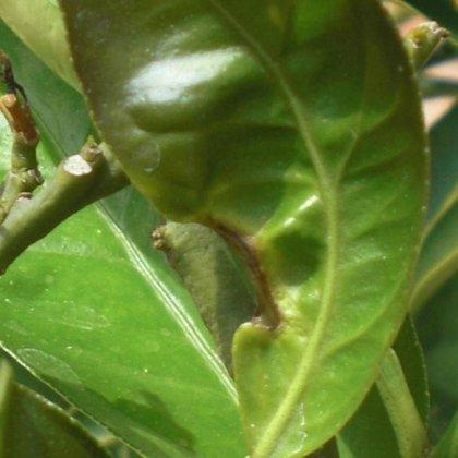 Quali sono le malattie della pianta di limone più comuni? 2
