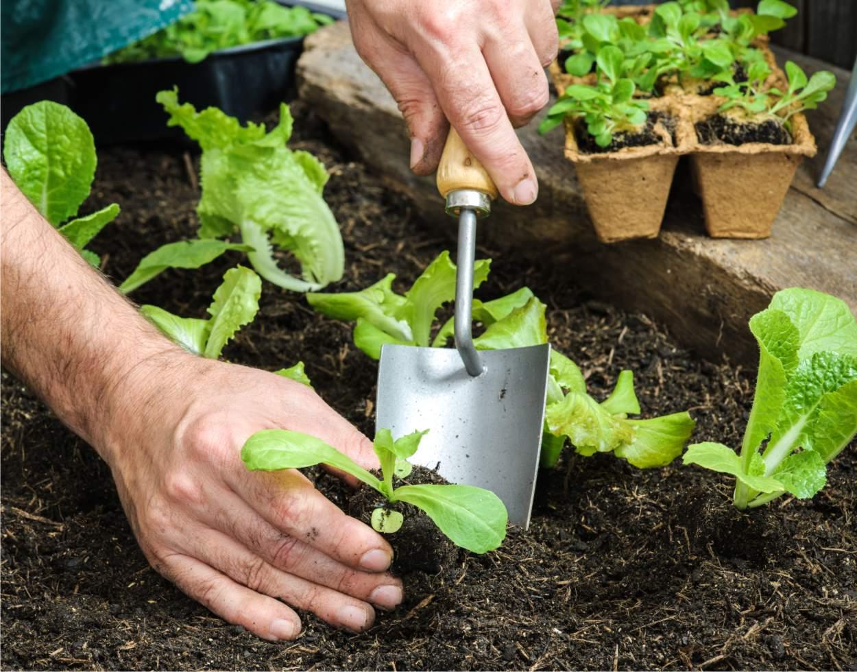 Come seminare l'insalata e quando