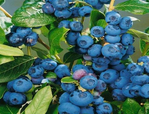 Trucchi per coltivare il mirtillo americano nel tuo orto