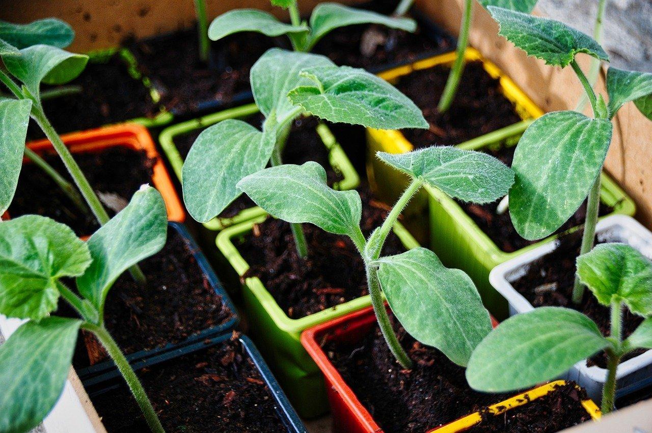 Trapianto delle piantine dell'orto: quali precauzioni prendere