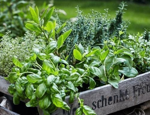 Quali piante aromatiche stanno bene insieme?