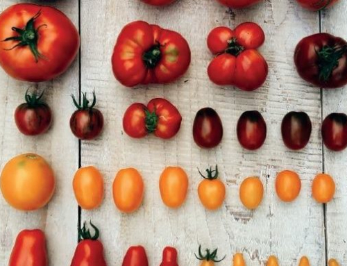 Varietà di pomodori senza sostegno: quali sono le migliori