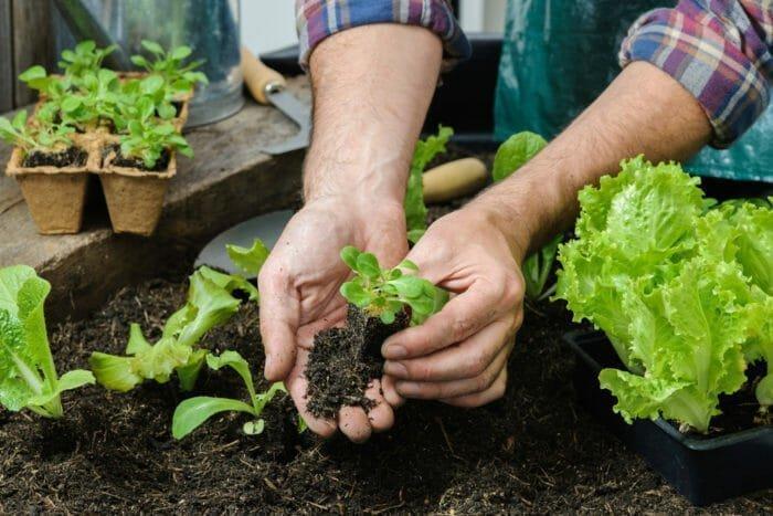 Perché l'insalata non cresce?
