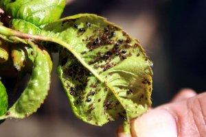 Come combattere la melata accumulata sulle piante