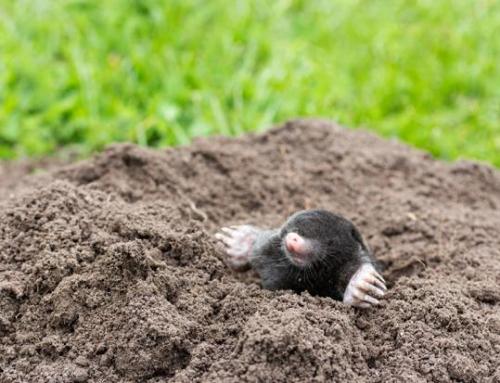 Ci sono le talpe nell'orto: cosa fare?