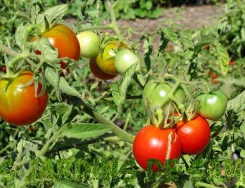 Esistono varietà di pomodori resistenti alla siccità?